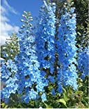 Delphinium consolida The summer sky Flower Seeds from Ukraine