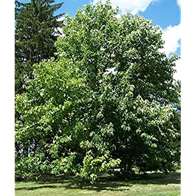 Cheap Fresh Unique Tree Seeds Magnolia Acuminata Cucumber Magnolia Get 5 Seeds Easy Grow #GRG01YN : Garden & Outdoor