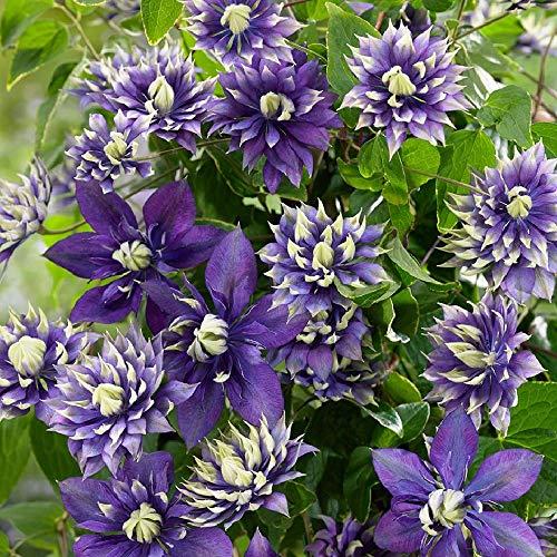 "Taiga Clematis Vine - Double Purple Blooms - 4.5"" Pot"