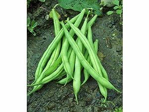 Bean, Provider Bush, Heirloom, Organic 20 Seeds, Non Gmo, Green Beans Vegetable