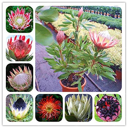 (Flower Plant - Fresh Rare Cynaroides Bonsai Easy Planting Flower Variety Complete 50 Bonsai/Pack)