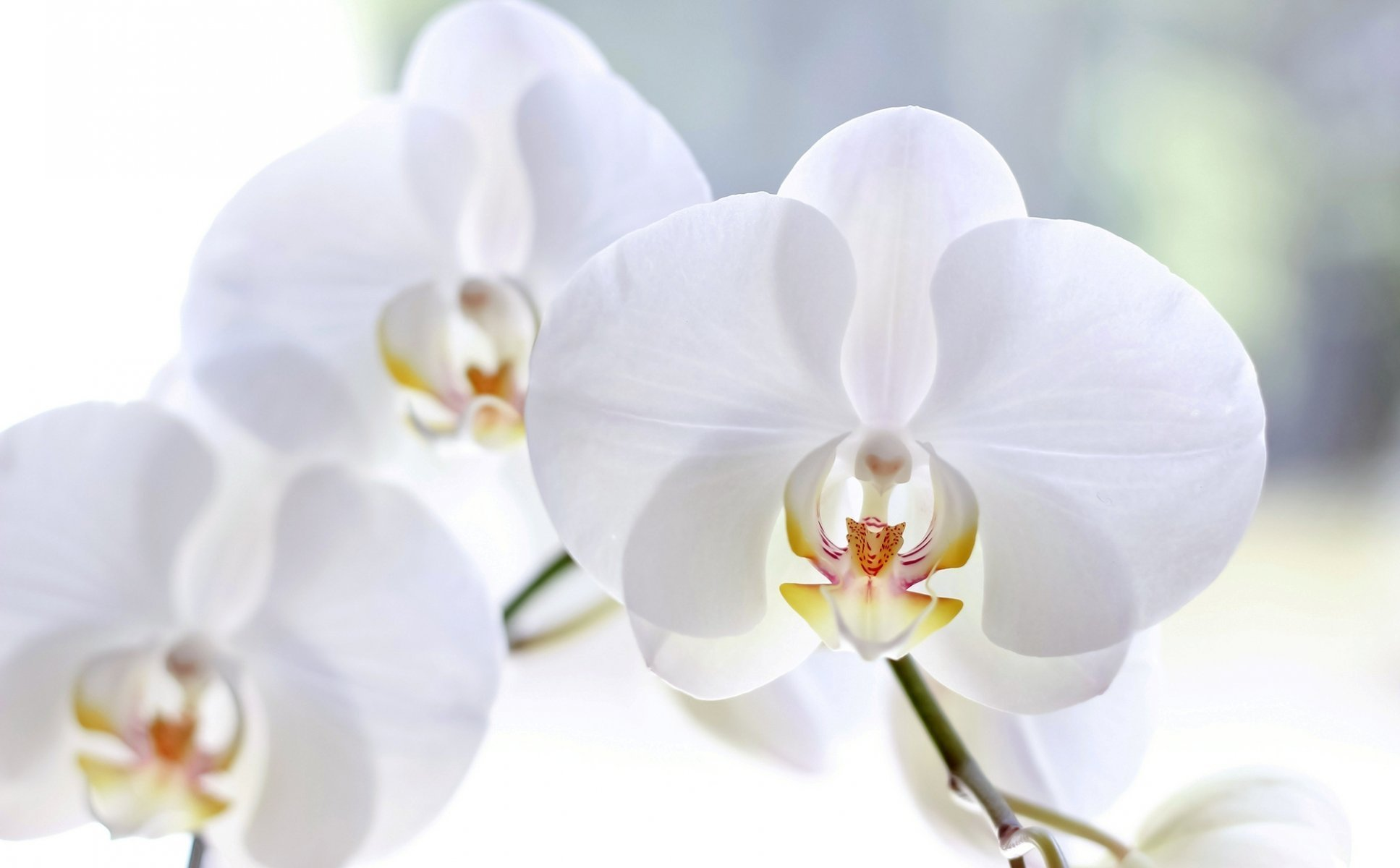Phalaenopsis Orchid (White) Hawaiian Starter Plant - Approx. 4 - 8 Inches