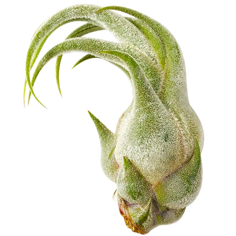 Tillandsia Seleriana Air Plant (XL 9''-10'')