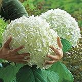 Bornbayb 50 Pcs Hydrangea Seeds Flower Bonsai Seed Rare Seeds for Home Garden