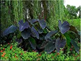 Giant Elephant Ear, Black Magic, Colocasia Esculenta beautiful, Tropical Plant
