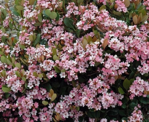 - FOUR Plants...Indian Hawthorn, pink lady, Rhaphiolepis Indica, Potted Live