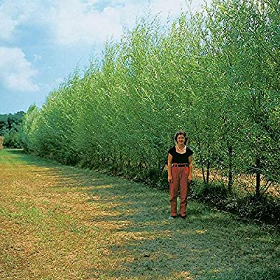 20+ Thin Hybrid Willow Tree Cuttings   Pencil Size or Smaller Twigs   Grow Trees or Make Willow Water : Garden & Outdoor