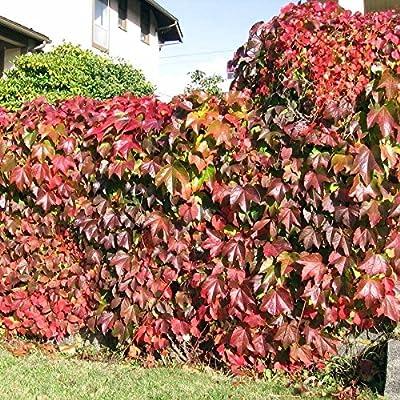 Boston Ivy Vine Virginia Creeper Parthenocissus Tricuspidata Climbing 100 Seeds : Garden & Outdoor
