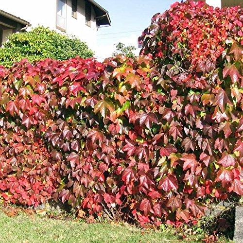 Climbing Ivy Vines (Boston Ivy Vine Virginia Creeper Parthenocissus Tricuspidata Climbing 100 Seeds)
