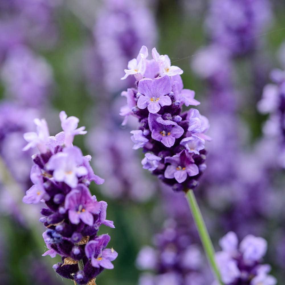 Lavender English Munstead Plant Seed 30+ Organic Love Grasss Hermosa planta Flor para el jardín de su casa Siembra: Amazon.es: Jardín