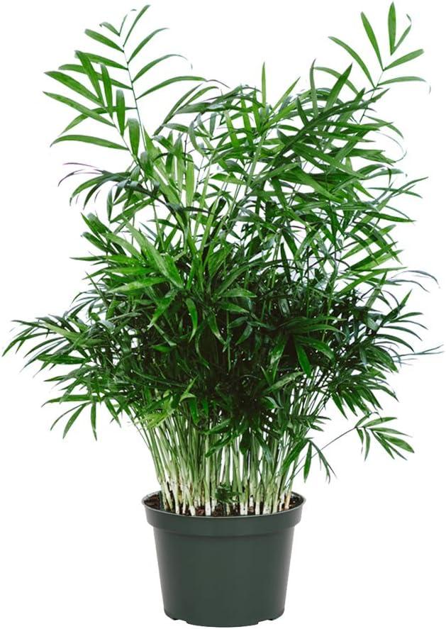 Safe Parlor Palm