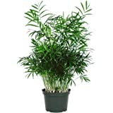 "American Plant Exchange Chamaedorea Elegans Victorian Parlour Palm Live Plant, 6"" Pot, Indoor/Outdoor Air Purifier"