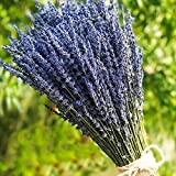 TooGet Lavender Dried Ultra Blue Bundles(16'' - 18'' Long) for Home Decor, Crafts, Gift,Wedding or Any Occasion