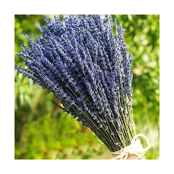 TooGet Lavender Dried Ultra Blue Bundles(16″ – 18″ Long) for Home Decor, Crafts, Gift,Wedding or Any Occasion