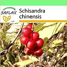 SAFLAX - Garden to Go - Chinese Magnolia Vine - 15 seeds - Schisandra chinensis