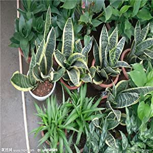 Hot Sale Sale!100pcs/bag Rare Chinese Sansevieria Seeds 20 variety Bonsai Tree Seeds Garden Novel Plants Anti-Radiation