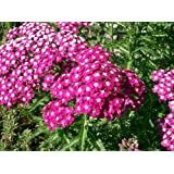 Perennial: ROSE YARROW 50+ Seeds - Drought Tolerant, Easy to Grow, Rosy Pink, Beauty, Easy To Grow - High Germination, Fresh Seed