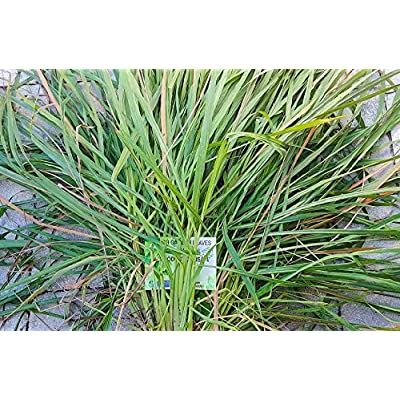 Lemongrass Leaves, Healthy Tea, (Raw, Organic), Cymbopogon, Malabar Grass Leaf - Product of USA 80 Grams : Garden & Outdoor