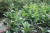 10 COMFREY CROWN CUTTINGS - Bocking 14 cultivar - grow faster than cuttings