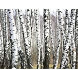 J.P. London uStrip Peel and Stick Removable Wall Decal Sticker Mural, Birch Forest Trees Black and White, 10.5 by 8.5-Feet