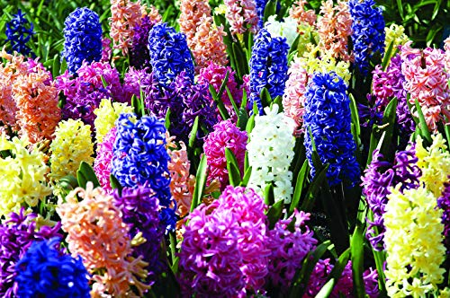 Tulip 5 Flower Bulbs (Burpee's Fragrant Mix Hyacinth  - 5 Flower Bulbs | Multiple Colors | 17 - 19cm Bulb Diameter)