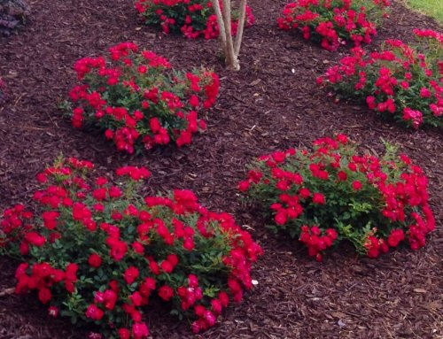 (1 Gallon) RED Drift Rose - has The Most Petite Flowers of All The Drift Roses, Perfect for use in Front Border plantings. Drift Roses are Cross Between Full Size groundcover Roses and Miniatures. ()