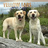 Yellow Labrador Retrievers 2018 12 x 12 Inch Monthly Square Wall Calendar with Foil Stamped Cover, Animals Dog Breeds Retriever (Multilingual Edition)