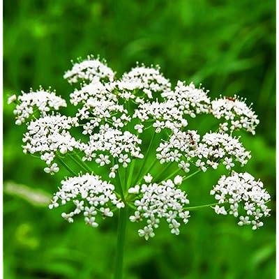 1, 000 Anise Seeds Spice Seeds Garden Seeds Plant Seeds TkMorebargins : Garden & Outdoor