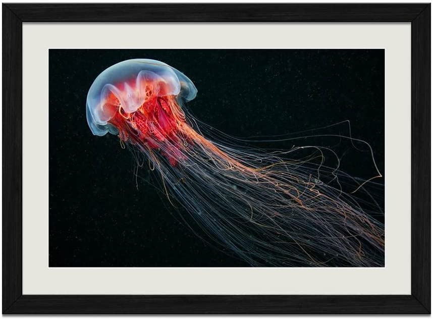 Amazon Com Cu Rong The Biggest Jellyfish Wood Frame Poster Home Art Deco Picture Print Framed Painting 16x24 In Black Frame Posters Prints