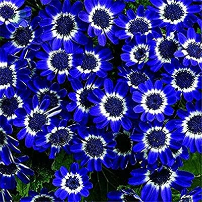 50PCS Romantic Blue Daisy Seeds Awesome Easy to Grow Flower DIY Home Garden