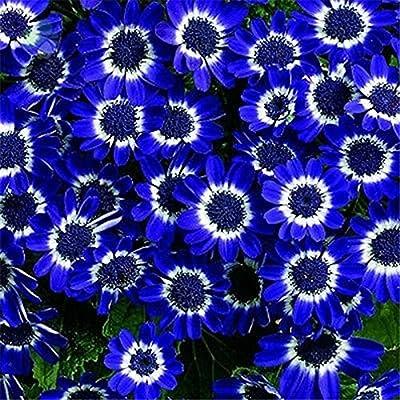 50PCS Romantic Blue Daisy Seeds Awesome Easy to Grow Flower DIY Home Garden : Garden & Outdoor