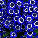 auto sprouter - 50PCS Romantic Blue Daisy Seeds Awesome Easy to Grow Flower DIY Home Garden