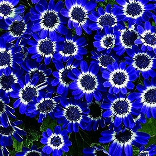 50PCS Romantic Blue Daisy Seeds Awesome Easy to Grow Flower DIY Home Garden (9 Inch Daisy Bowl)