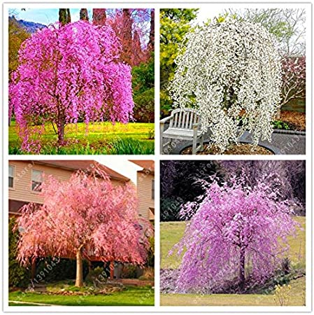 Amazon Com 10pcs Bag Japanese Bonsai Sakura Tree Seeds Weeping