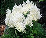 Mr.seeds A Pack 100 Pcs White Chinese Astilbe Seeds Balcony Garden Patio Potted Bonsai Plants Astilbe Chinensis Flower Seeds