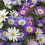 Van Zyverden Wind Flowers Anemone Blanda Mixed Set of 100 Bulbs