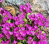ROCK CRESS PINK - Arabis Caucasica Alpinum 1000 Seeds - PERENNIAL FLOWER