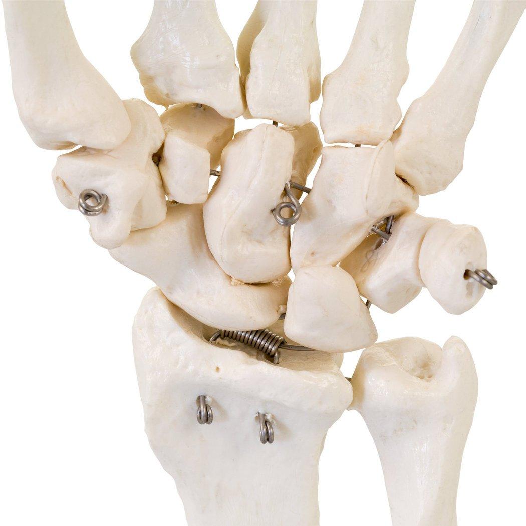 Anatomisches Hand Skelett Model   lebensgroßes anatomisches ...