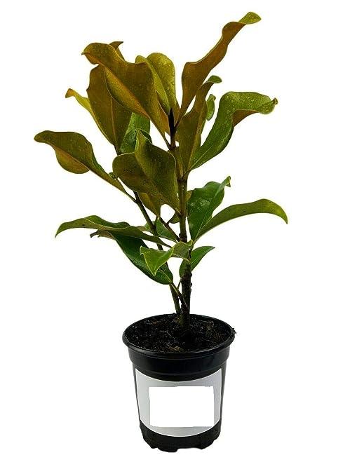 Amazoncom Magnolia Tree Brackens Brown Beauty Southern Live Plant