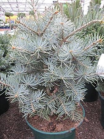 Abies Concolor Compacta Zwerg Grautanne Coloradotanne 40 50
