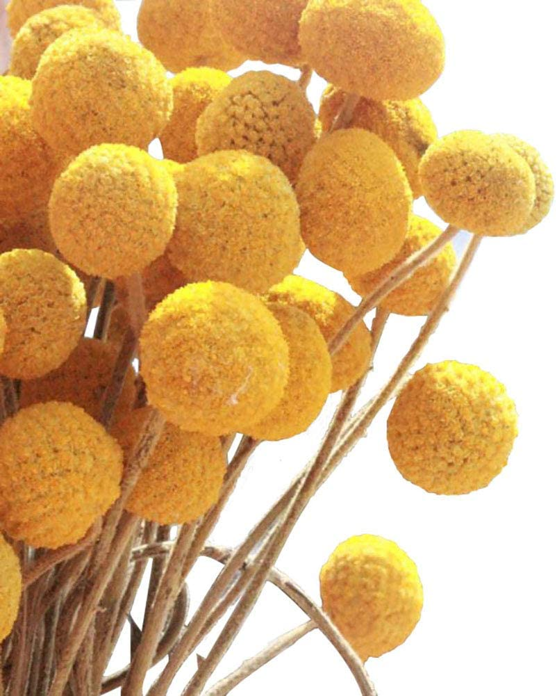 KALOR Dried Flowers Branch Farmhouse Stylet Craspedia Yellow Billy Balls for Home Decor DIY 20 Stems