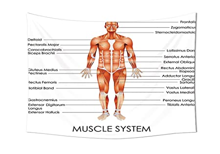 Iprint Human Anatomy Tapestry Muscle System Diagram Of Man Body