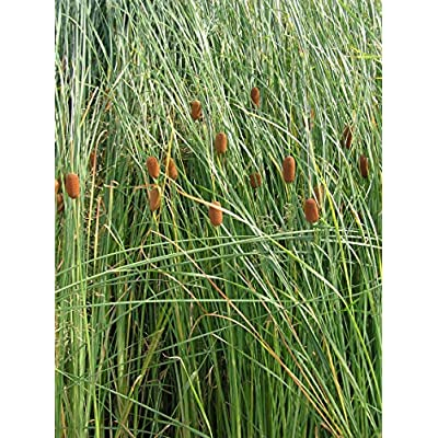 Dwarf Cattails (Typha laxmannii) Seeds by Robsrareandgiantseeds UPC0764425788492 Non-GMO, Organic, USA Grower, Bonsai, Showy, Butterfly Flower, 1196 Package of 25 Seeds : Garden & Outdoor