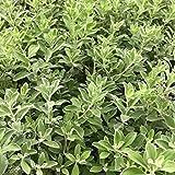 Texas Sage Leucophyllum frutescens Live Plant Purple Flower Drought Tolerant