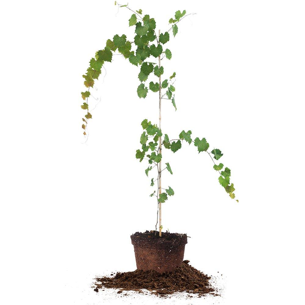 NOBLE MUSCADINE GRAPE VINE - Size: 3-4 ft, live plant, includes special blend fertilizer & planting guide