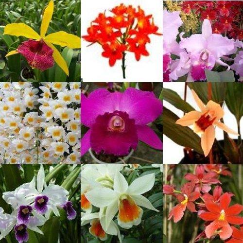 3 blühende Orchideen im Topf, Überraschungspflanzen, 1 Rispe pro Pflanze