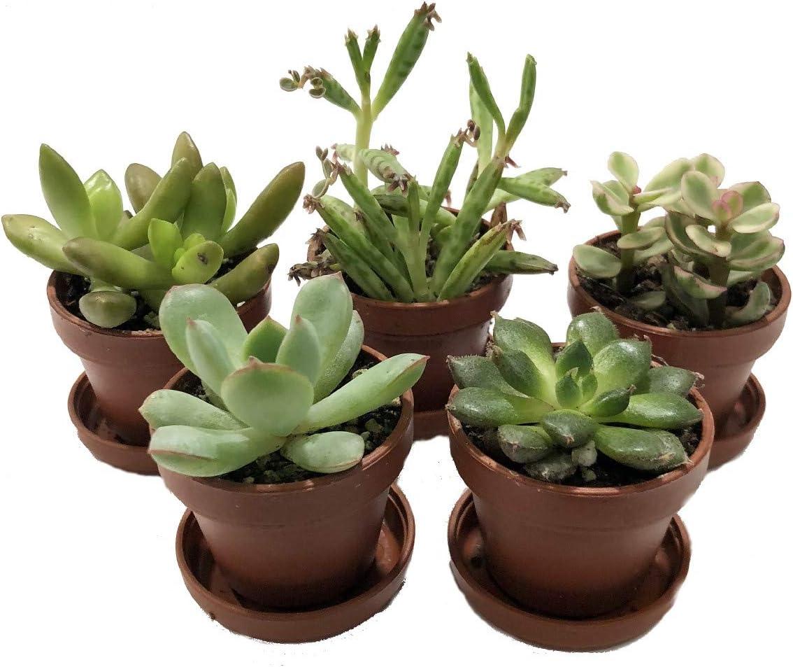 Mini Succulent Collection - Fairy Gardens/Terrarium - 5 Plants 1