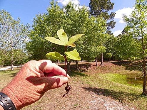 SANHOC Samen-Paket: 6 Verwurzelt Samen von Laurel (Quercus laurifolia)