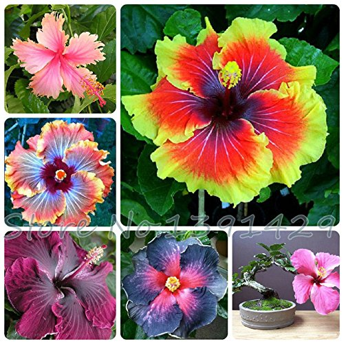 Promotion! 200pcs Hibiscus seeds 24kinds HIBISCUS ROSA - SINENSIS Flower seeds potted planters for decoration ()