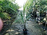 PlantVine Dypsis decaryi, Triangle Palm - Large - 8-10 Inch Pot (3 Gallon), Live Indoor Plant
